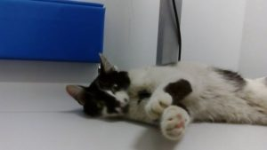 kot w gabinecie weterynaryjnym